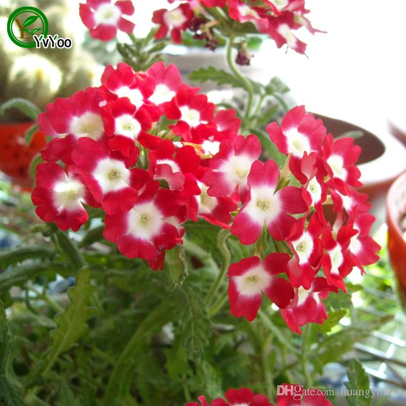 Red Verbena seeds Bonsai Seeds Garden Plants Flower Seeds Annual Herb 50 Particles / W004