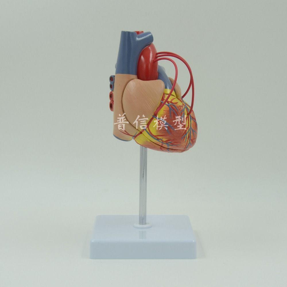 2018 Wholesale Dongyun Brand Human Heart Anatomical Model Heart ...