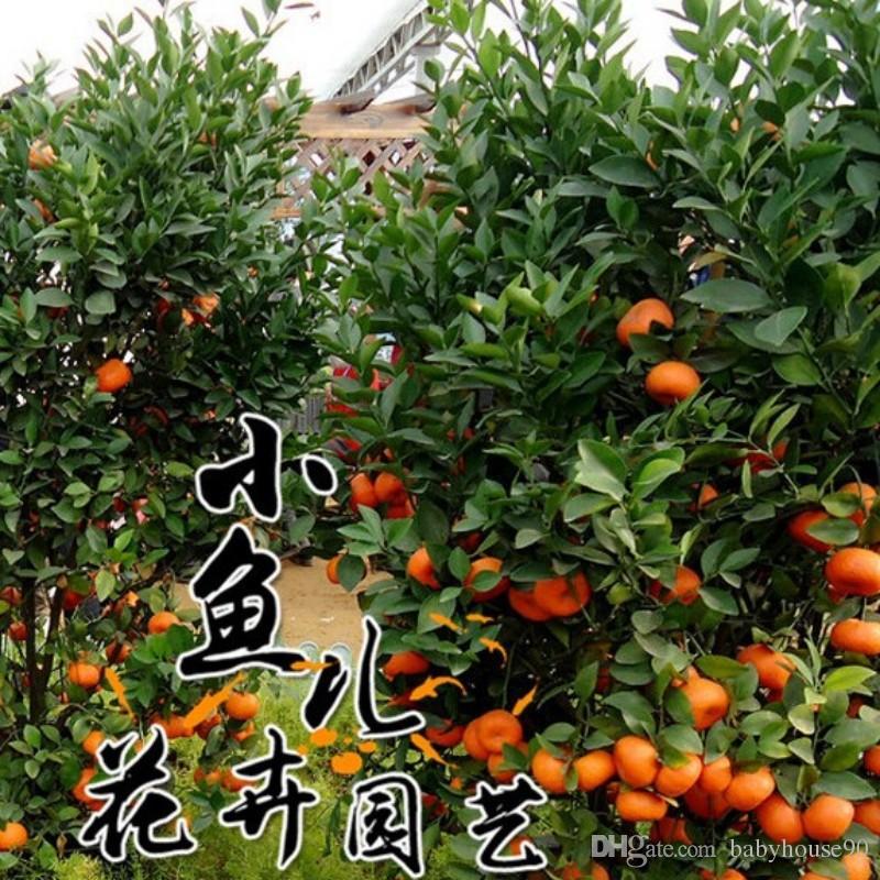 venta al por mayor semillas de naranja natural puro interior