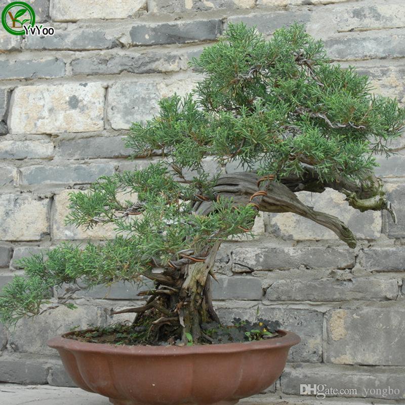 Semi di albero di cipresso Semi di albero Semi di frutta ad alto tasso di sopravvivenza bonsai giardino domestico Pianta bonsai 50 pezzi W012
