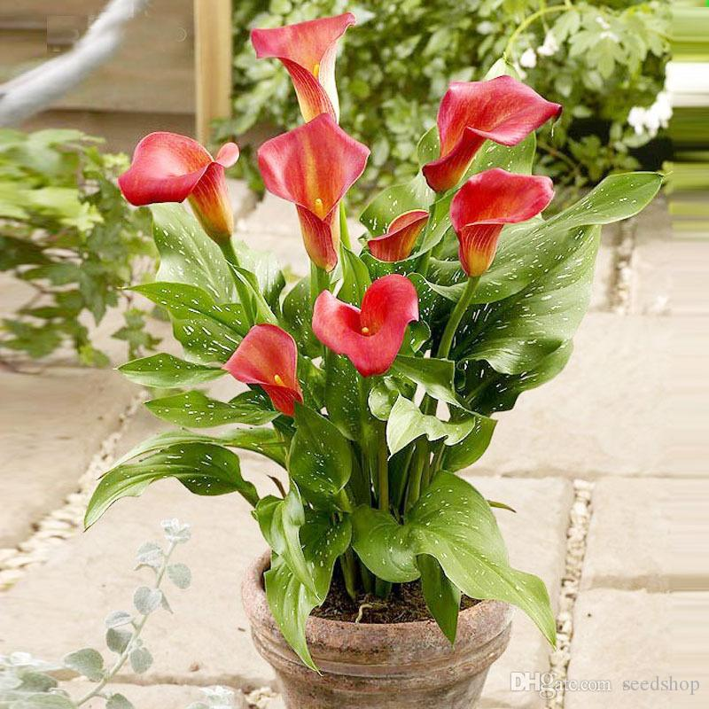 New Arrival!20 Seeds/Pack Rare Calla Lily Seeds,Rhizomes High Survival Rate Calla Lily Flower Seeds, Easy to grow