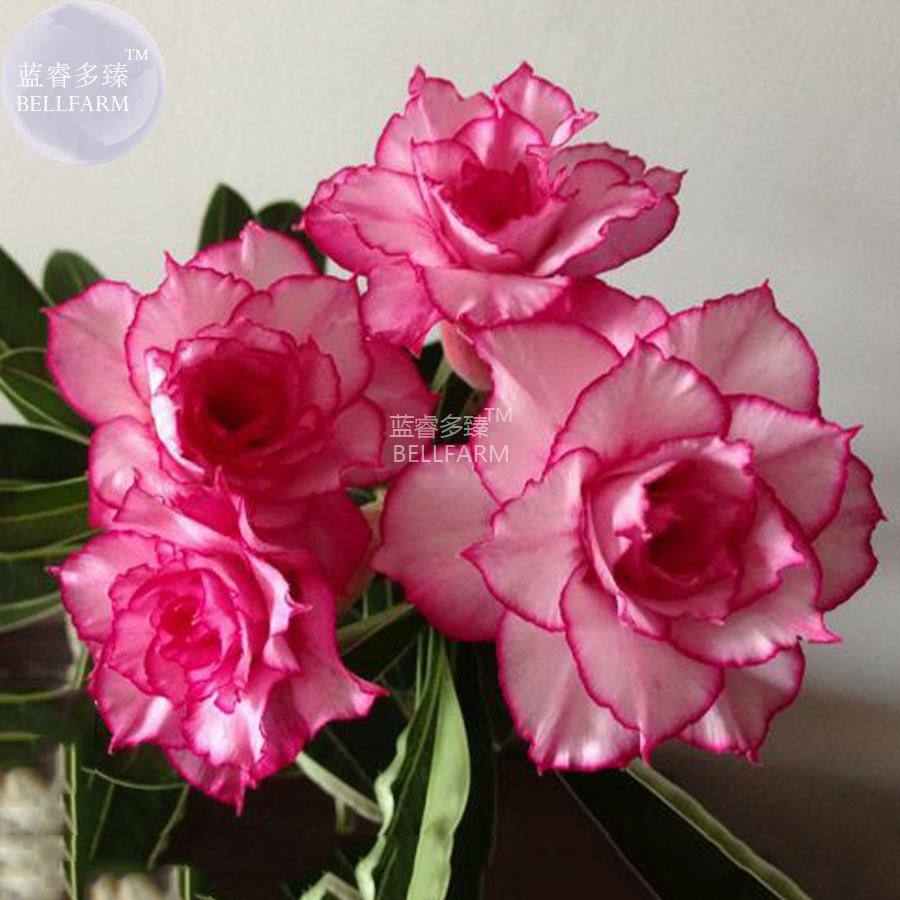 2018 Bellfarm Adenium Whitish Light Pink Flowers With Rose Red Edge