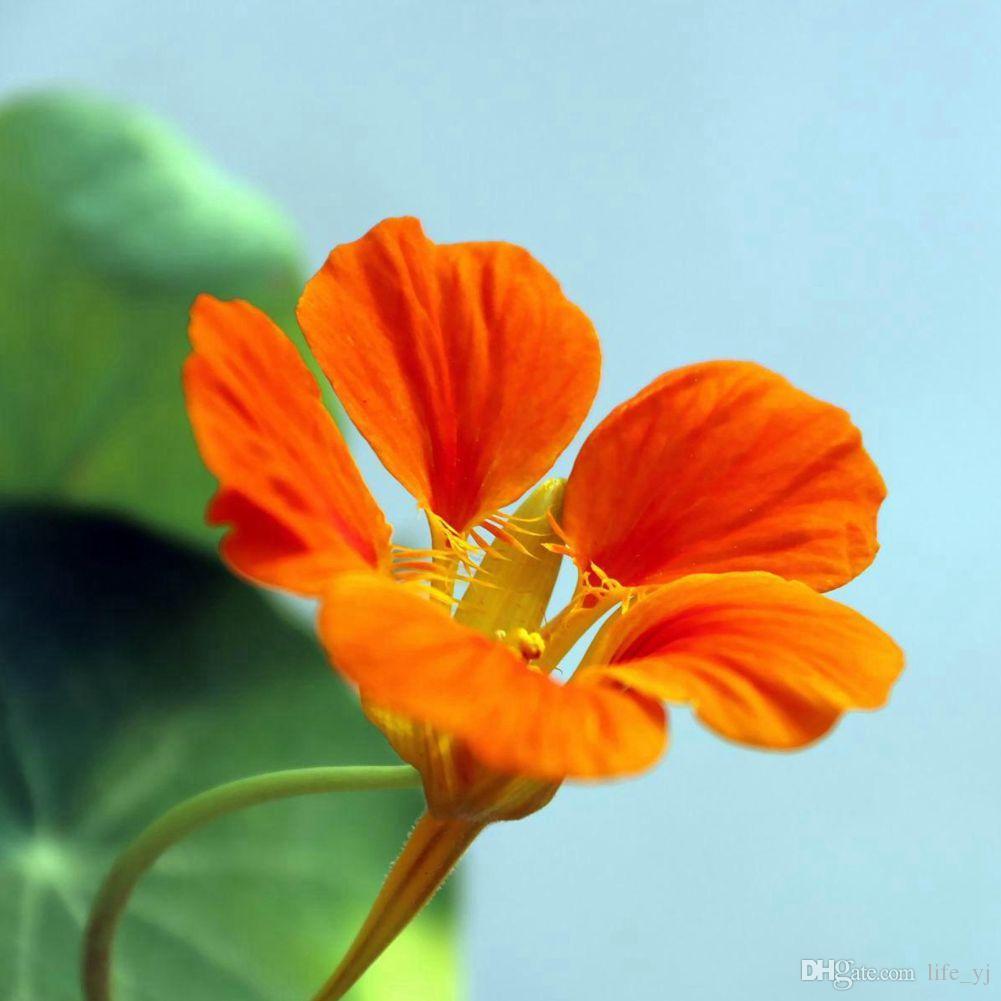 2017 1 8 red garden nasturtium flower seeds dazzling bright aroma