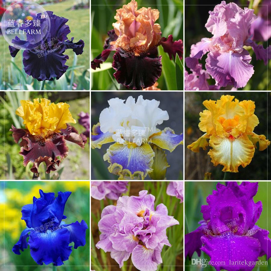 2018 Bellfarm Iris Sibirica Mixed Perennial Flower Seeds 500