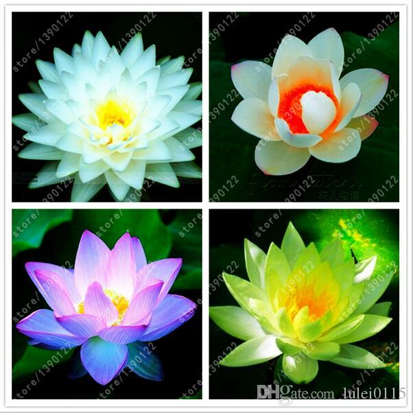 2018 fast shipping rare mixed colors lotus flower lotus seeds 2018 fast shipping rare mixed colors lotus flower lotus seeds aquatic plants bowl lotus water lily seeds perennial plant for home garden from lulei0115 mightylinksfo Gallery