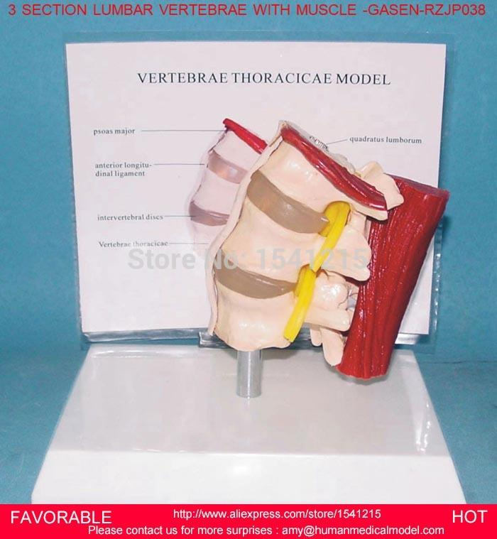Wholesale Thoracic Spinal Cordmodel Of The Thoracic Vertebra