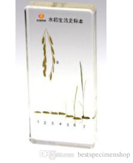 Ciclo de vida del espécimen de arroz Resina Incrustada Ciencia de la planta de arroz Kits de educación Aprendizaje Transparente Pisapapeles Pisapapeles Niños Enseñanza Dispositivo