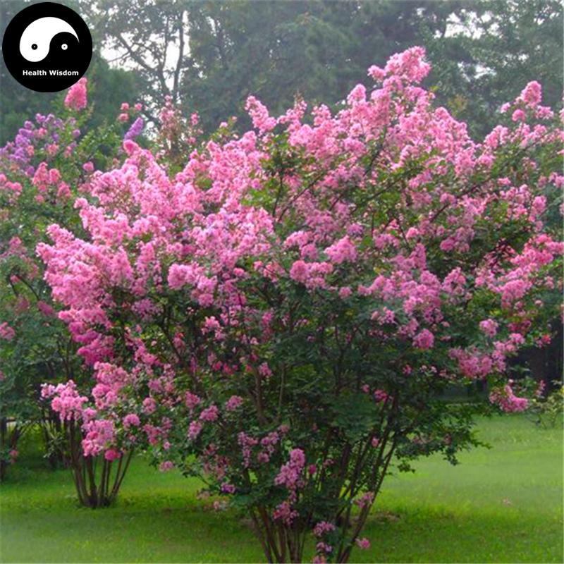 2018 buy lagerstroemia indica tree seeds plant crape myrtus from lyw5156 dhgate com. Black Bedroom Furniture Sets. Home Design Ideas