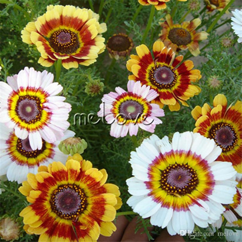 64d6c48396 2019 400 Seeds Colorful Painted Daisy Mixture Chrysanthemum Carinatum For  Home Garden Flower Bed Landscape Flowering Plant From Melove, $4.93 |  DHgate.Com