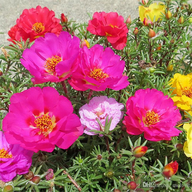 Acheter 500 Portulaca Grandiflora Moss Rose Double Fleur Mix Couleur