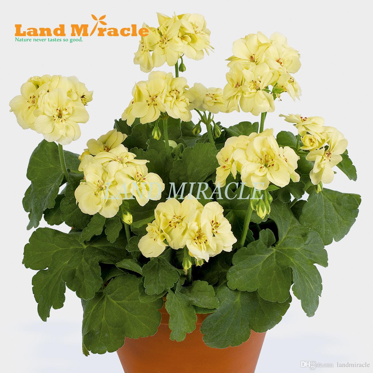 Raros Sementes de Gerânio, 5 Sementes, Amarelo Pelargonium Planta Em Vasos Perenes para interior / jardim Flores Ao Ar Livre