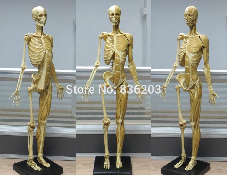 Großhandel Anatomie Schädelmodell Des Großhandels 60cm Muskel ...