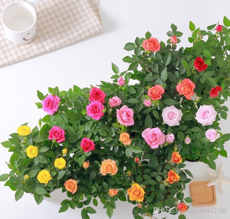 2019 mini rose seed flower pot rose seed plant indoor for Roselline in vaso