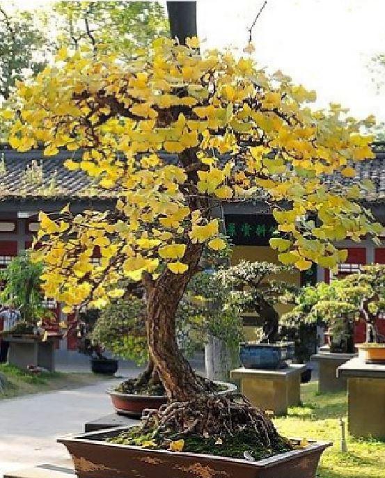 2019 5 Seedspack Cheap Bonsai Magical Ancient Foliage Plants