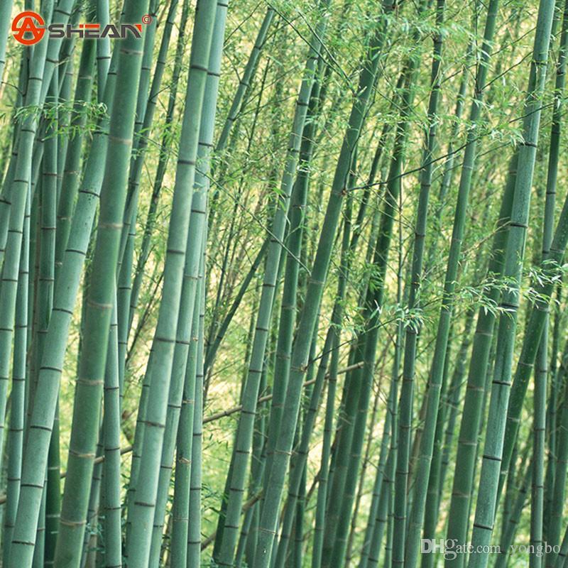 Frische riesige Moso Bambussamen für DIY Hausgarten 60 Partikel / los