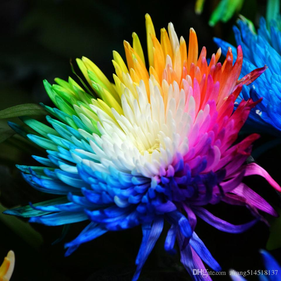 Online cheap 20 rainbow chrysanthemum flower seeds rare color new online cheap 20 rainbow chrysanthemum flower seeds rare color new arrival diy home garden flower plant by zhang514518137 dhgate izmirmasajfo