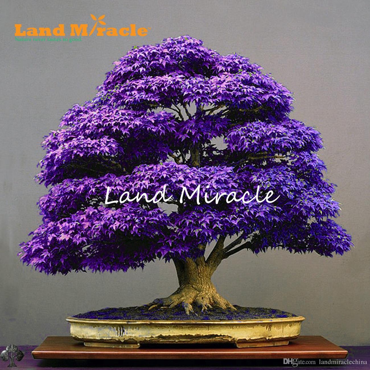 Acero Blu Giapponese acquista veri semi di bonsai albero giapponese acero fantasma viola, 10  semi / confezione, acer palmatum atropurpureum piantare il giardino tutte  le