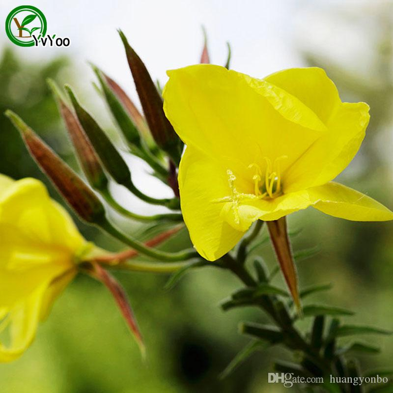 Eveningprimroes seed Bonsai Seeds Garden Plants Flower Seeds Annual Herb 50 Particles / u001