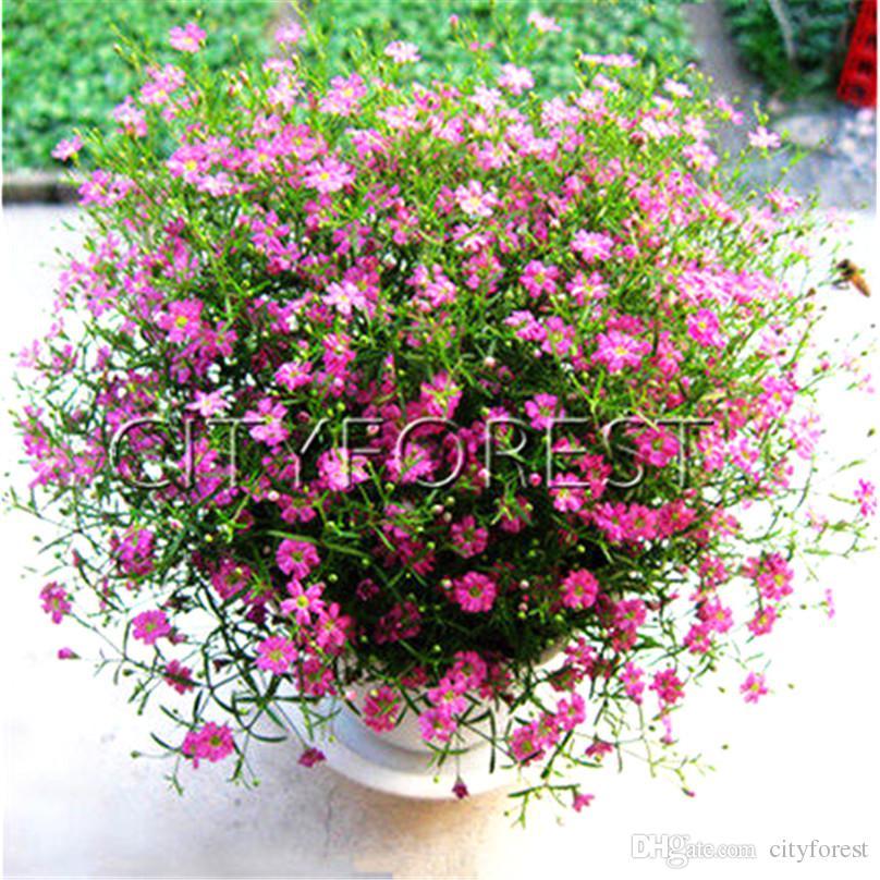 2019 1000 Gypsophila Elegant Pink Flower Seeds Babys Breath Easy To