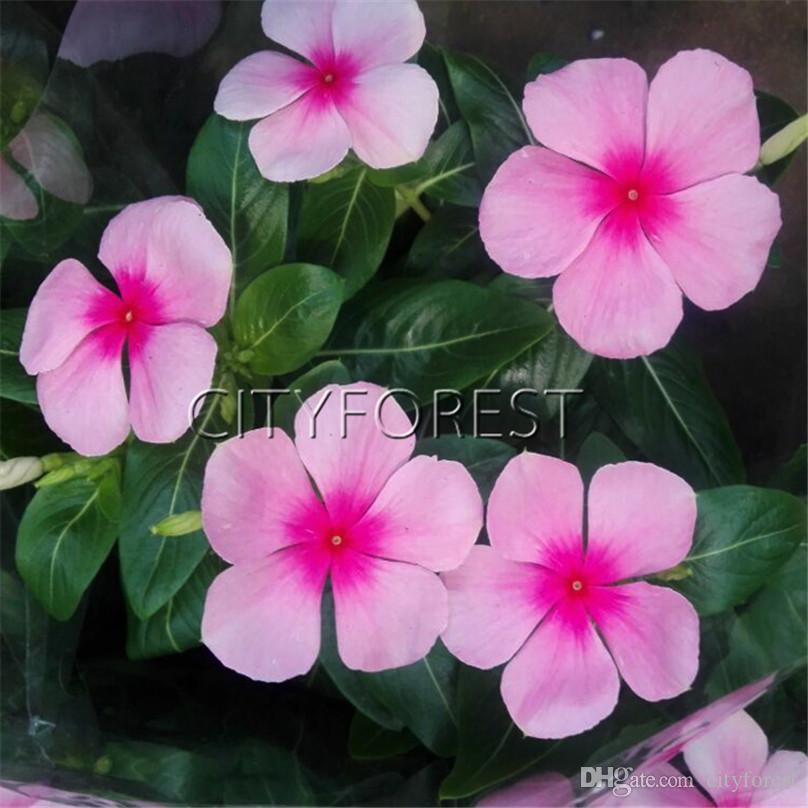 2018 dark pink madagascar periwinkle flower seeds catharanthus 2018 dark pink madagascar periwinkle flower seeds catharanthus roseus vinca for summer drought tolerant landscape container from cityforest 593 dhgate mightylinksfo