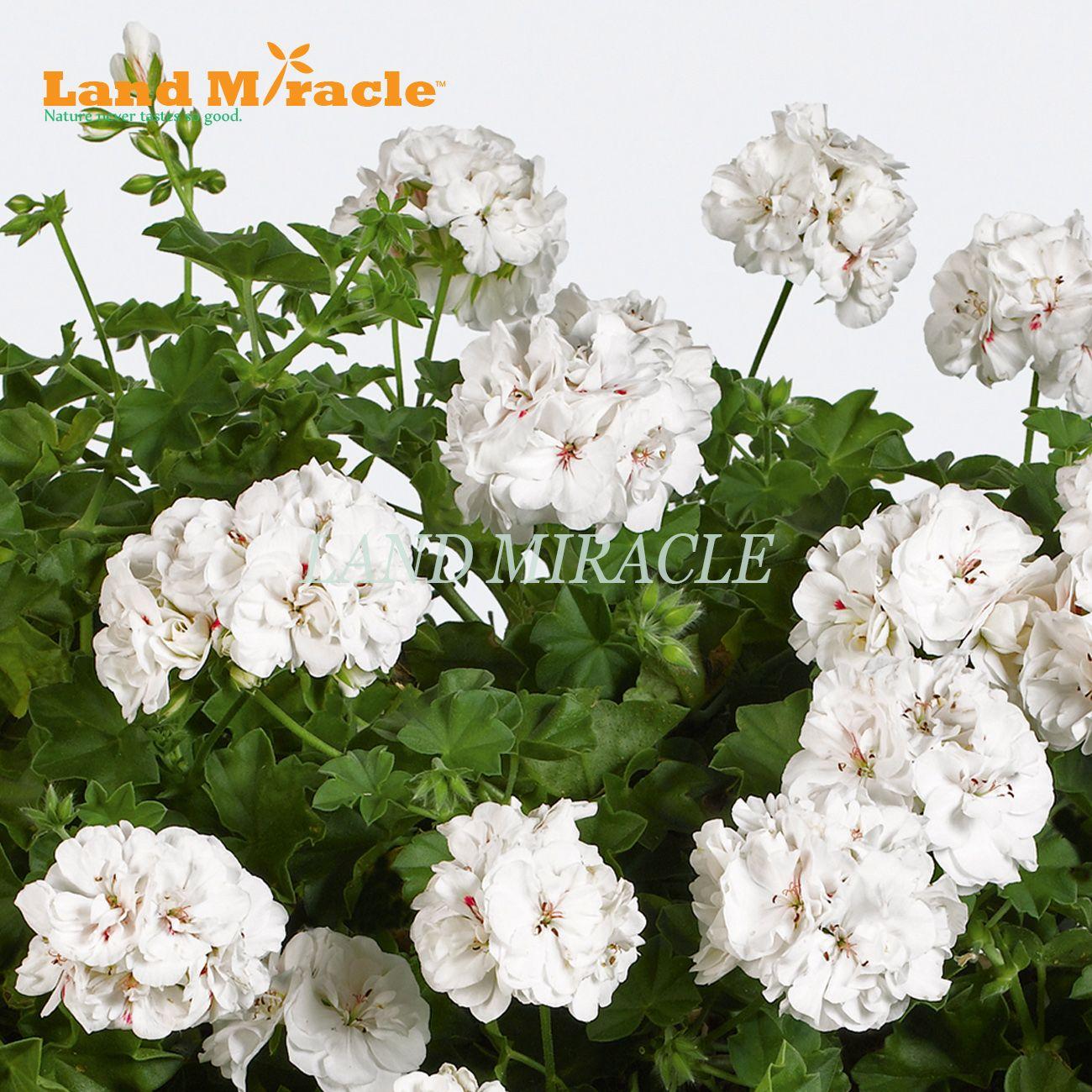 White Appleblossom Geranium Perennial Flower Seeds, 5 Seeds, Rare Big-blooms Pelargonium Hortorum For Garden Plant