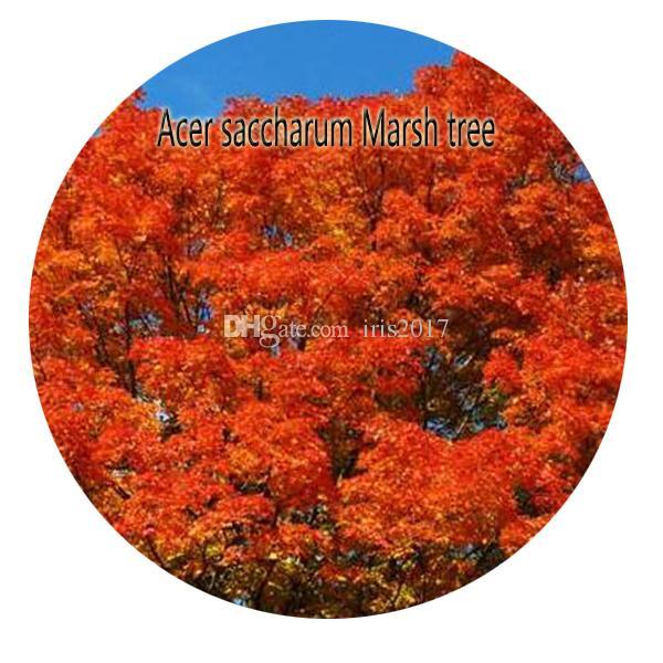 Satın Al 100 Adet Bir Set Acer Saccharum Marsh Ağacı Tohum Sıcak
