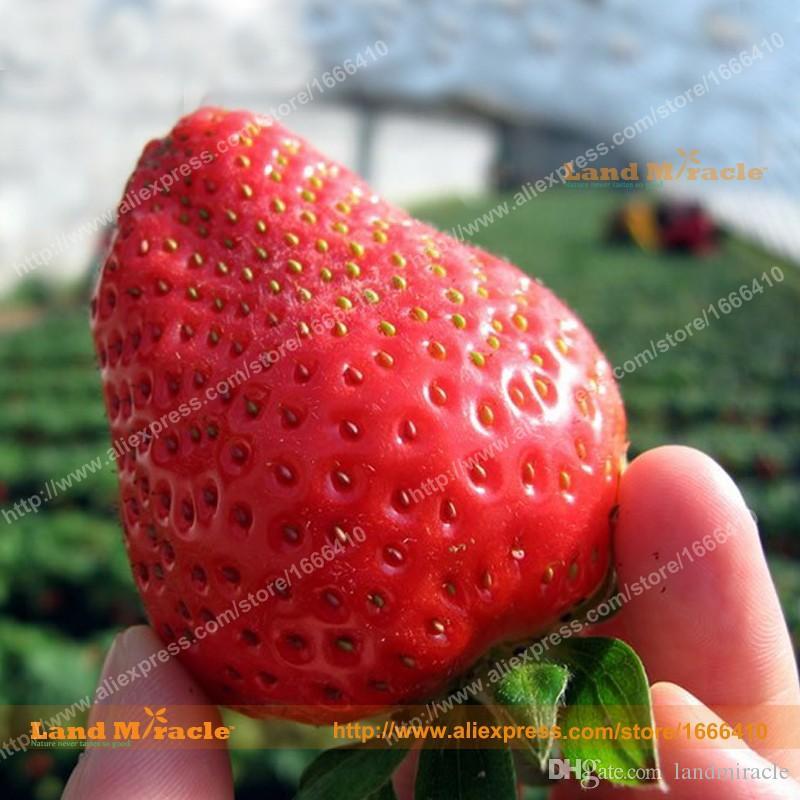 16 Pacotes, 50 Sementes / Pack = 800 Sementes, 16 Tipos de Frutas Semente de Morango, Orgânico Bonsai Morango Gigante não-GMO Milagre-Terra