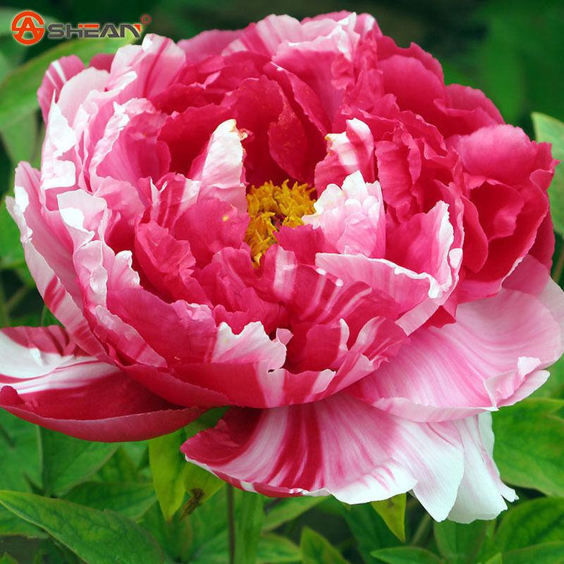 2019 Wholesale10 Pink And Red Double Color Peony Flower Seeds Potted