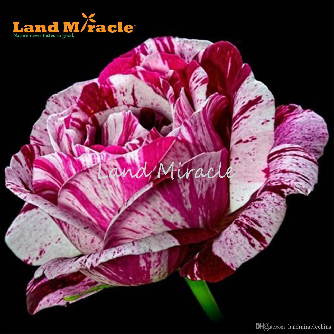 Acheter Magnifique Rose Fleur De Rosier Buisson 50 Graines Plantes