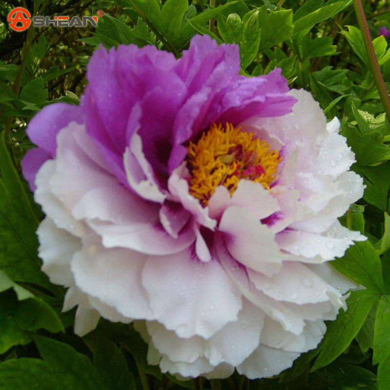 Wholesale10 White And Purple Double Color Peony Flower Seeds Potted