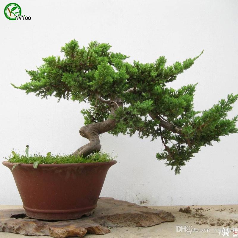 사이프러스 나무 씨앗 나무 씨앗 높은 생존율 분재 과일 씨앗 홈 정원 분재 식물 50 개 W012