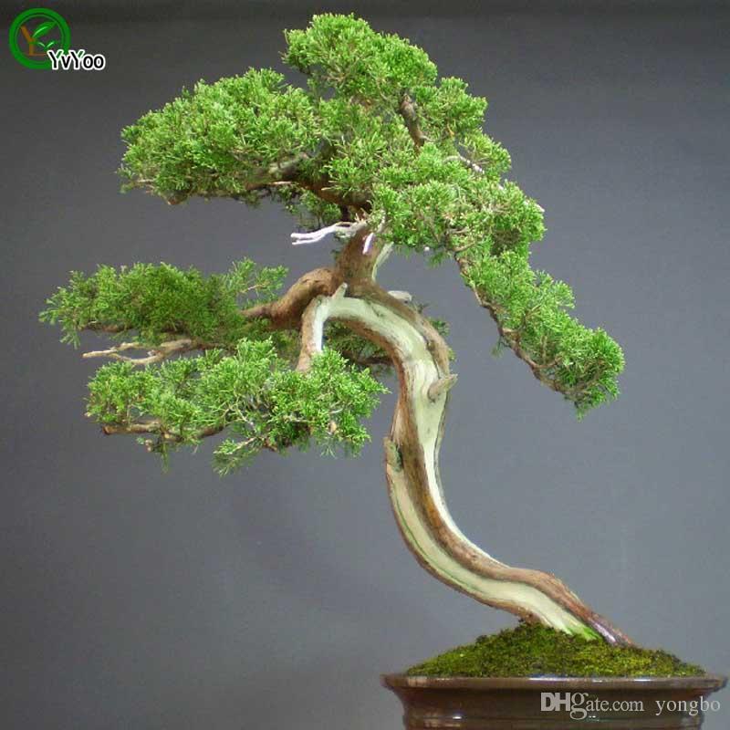 Zypresse Samen Baum Samen Hohe überlebensrate bonsai Obst Samen Für Hausgarten Bonsai Pflanze 50 stücke W012