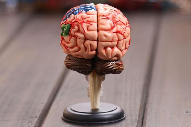 2019 Wholesale 4d Master Human Brain Model Structure Model Assembled