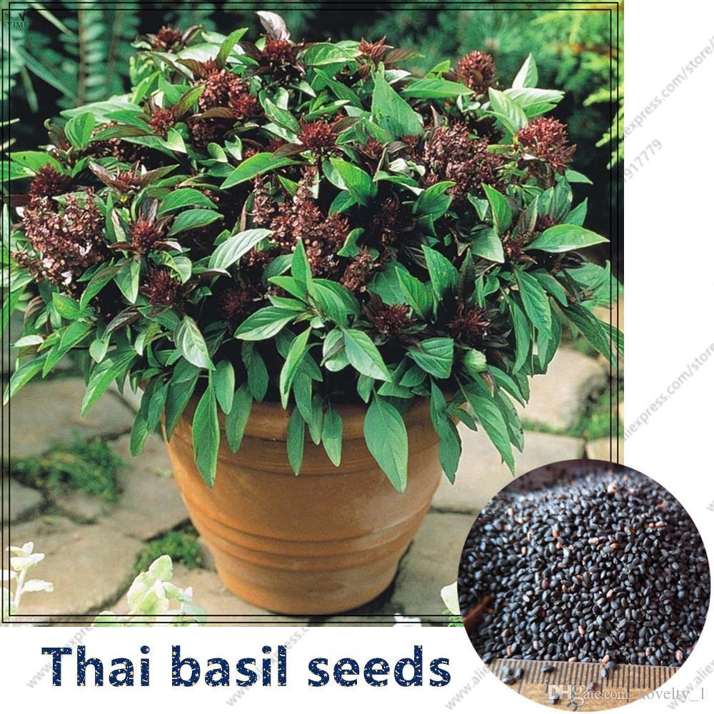 Thai basil seeds Ocimum basilicum  spice and medicinal herb Organic  vegetable fragrant basil seeds, flower seeds-100 pcs(OC106#)