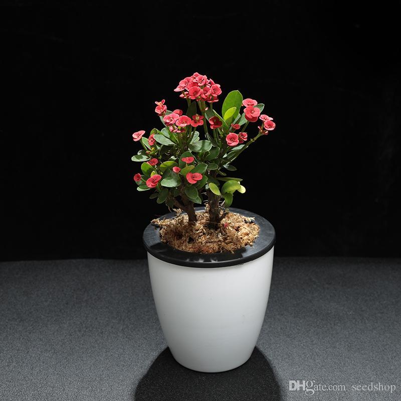 Samenpflanzen Topf Euphorbia milii Eisen Begonia Blumensamen von Grünpflanzen, um die Luft zu reinigen und das Schreibtischbüro zu verschönern