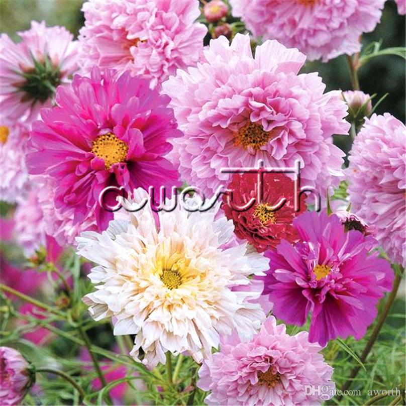 Double Cosmos Flower Flower Seeds Bag Mix Color Cosmos Bipinnatus