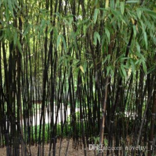 Acquista semi di bonsai semi di bamb nero phyllostachys for Semi di bambu