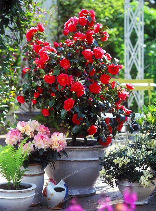 10PCS Camellia Seeds, Flower Seeds, Diy Potted Plants, Indoor / Outdoor bonsai pot plant for home garden Camellia japonica