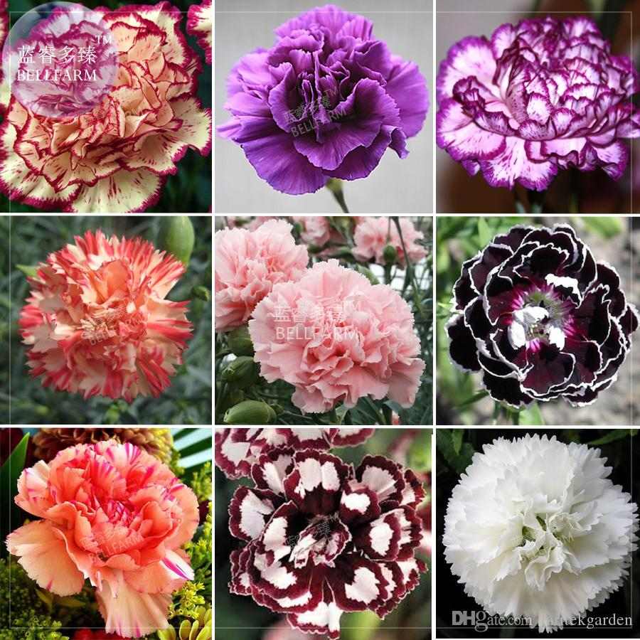 Bellfarm Carnation Giant Mixed Sweet Fragrant Flower Seeds 1000