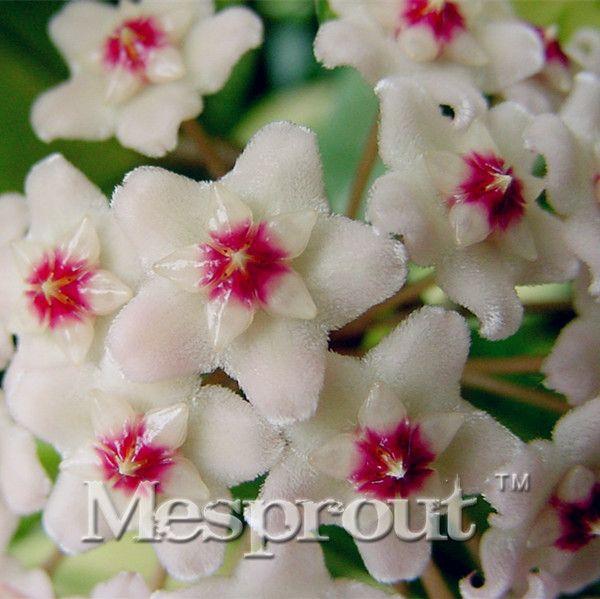 100 Teile / beutel Hoya kerrii Samen (Hoya kerrii) Familie Bonsai Garten Liefert Freies Verschiffen Vielzahl von Blumensamen