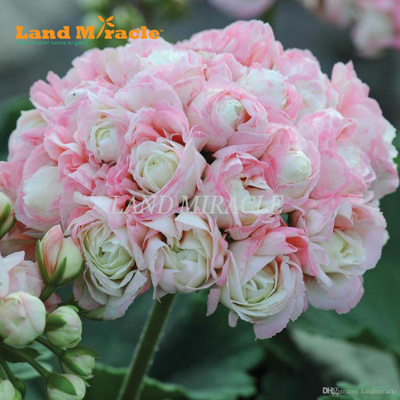 2018 rare light pink geranium seeds 5 seeds appleblossom rosebud 2018 rare light pink geranium seeds 5 seeds appleblossom rosebud pelargonium perennial flower seeds bonsai potted plant from landmiracle 402 dhgate mightylinksfo