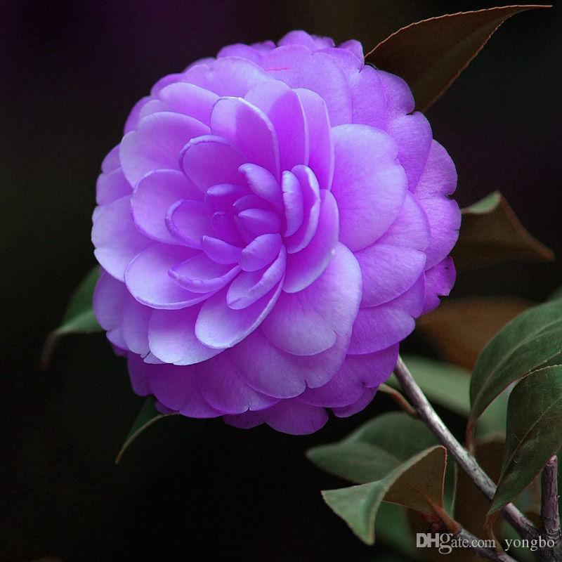 Camellia graines de promotion organique balcon bonsaï graines de fleurs plantes à fleurs f012