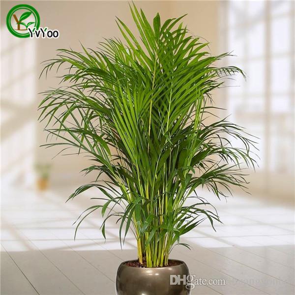 Grosshandel 30 Palm Bambus Samen Zimmerpflanzen Neue Ankunft Diy