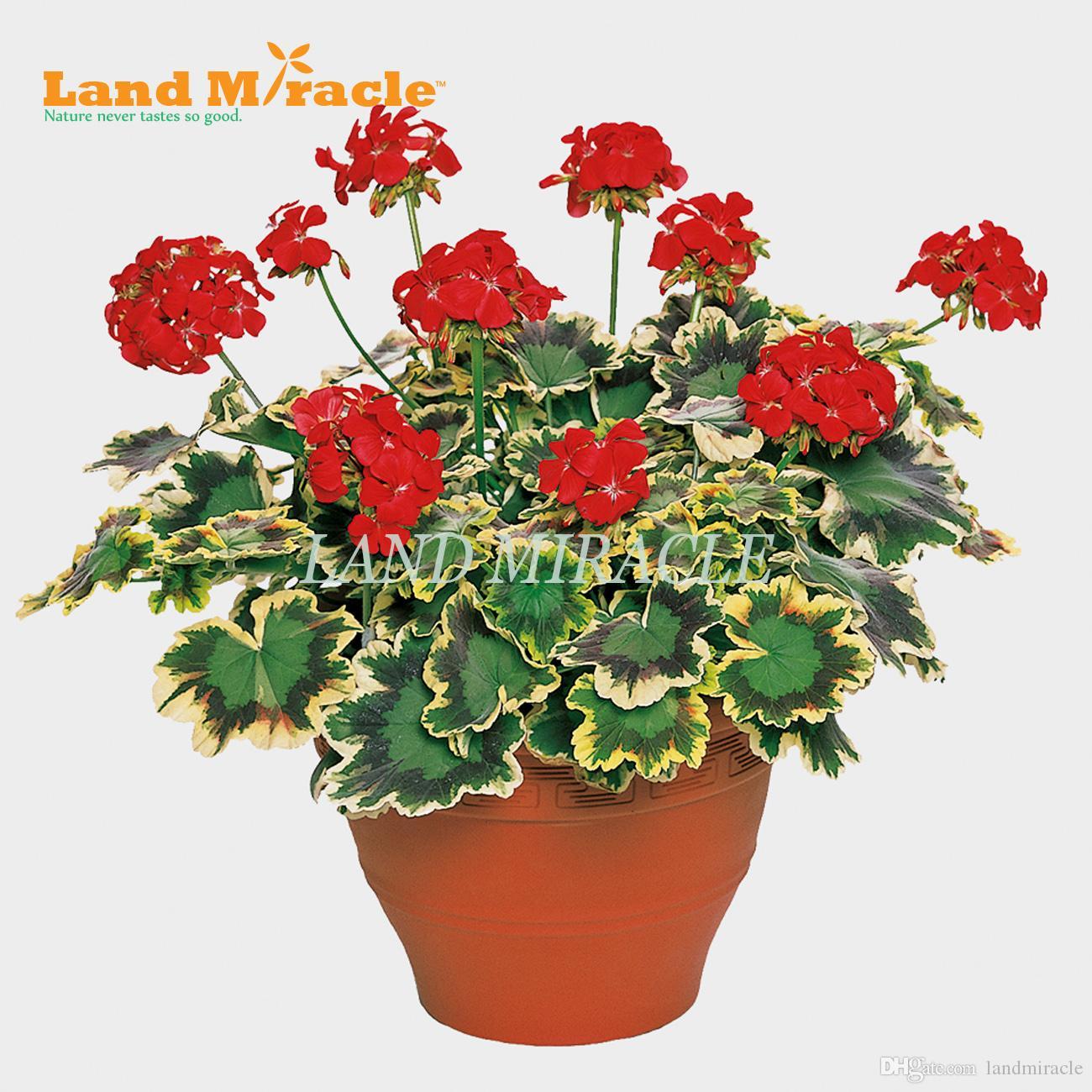 Rare Geranium Seeds, 5 Seeds, Red Pelargonium Perennial Garden Flowers Bonsai Potted Plant indoor / outdoor