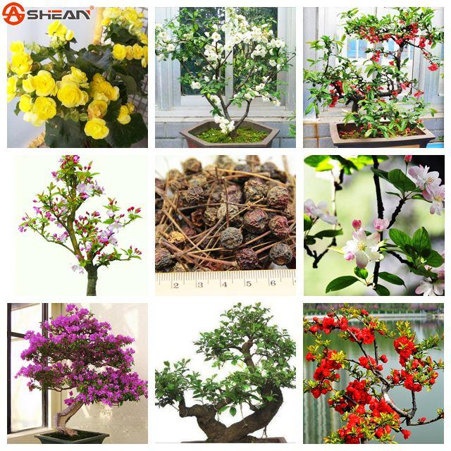 Unique Begonia Flower Seeds Beautiful Garden Bonsai Perennial Flower Malus Spectabilis Seeds Variety Complete - 10 PCS