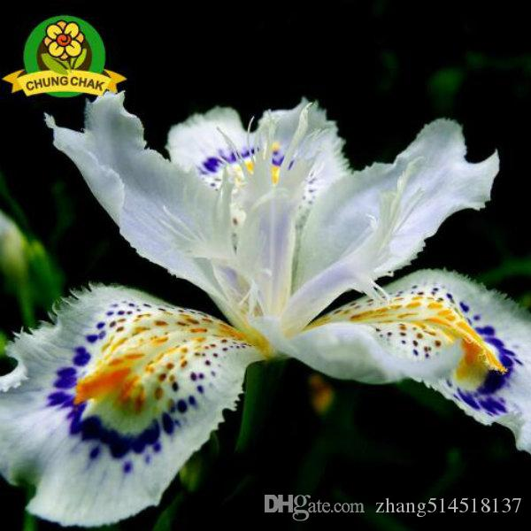 2017 Hot Flowers Seeds Japanese Iris Japonica Seed White Iris Orchid Rare Exotic Flower Easy to plant Garden Home Bonsai