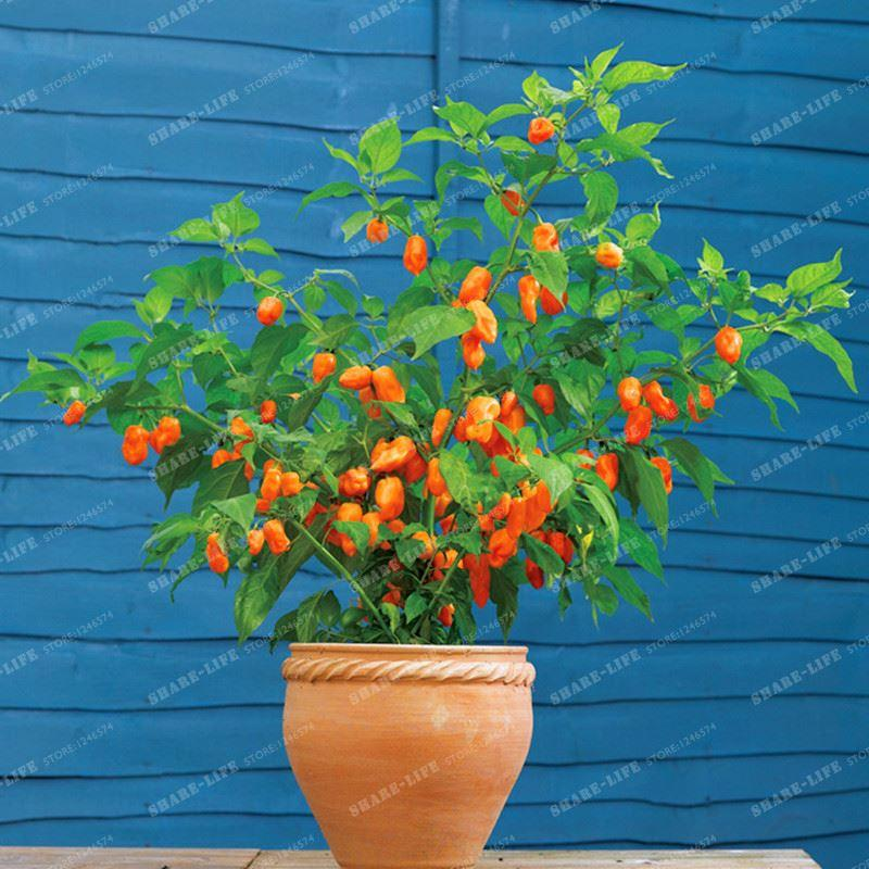 100pcs Chilli Seeds Vegetable Seeds Brown Red Pepper Seeds Rare Exotic Bonsai Plant Decoration Home & Garden Free Shipping