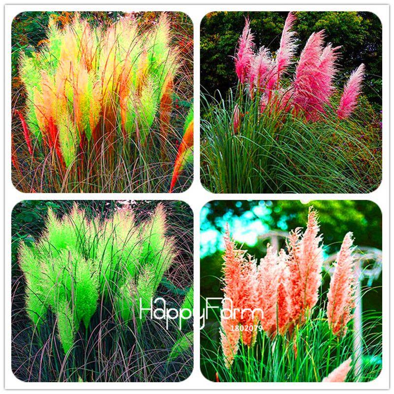 50 stücke Neue Seltene Beeindruckende Lila Pampas Grassamen Zier hausgarten Pflanzen Blumen samen Cortaderia Selloana bonsai topf