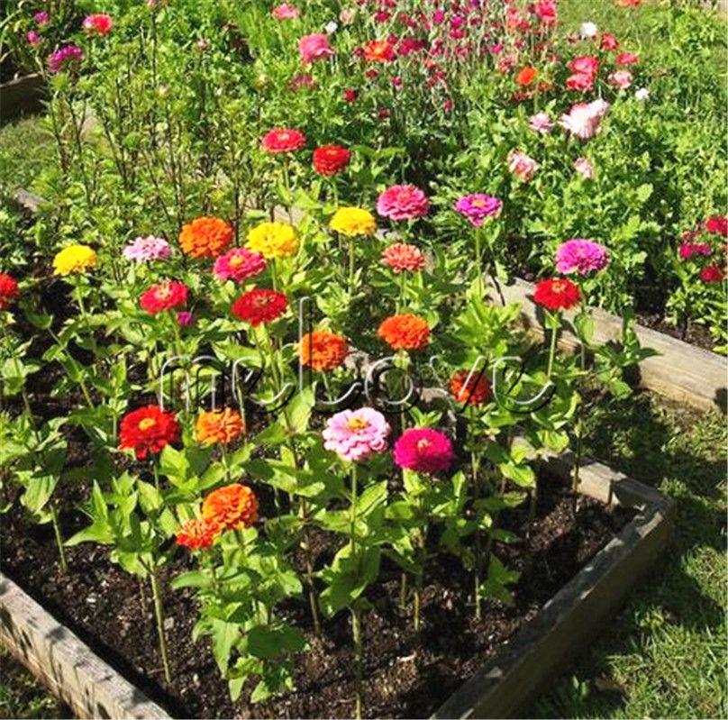 Flower Bed Maintenance Cost: 2019 Zinnia Elegans Cut Flower Variety 100 Seeds Mix Color