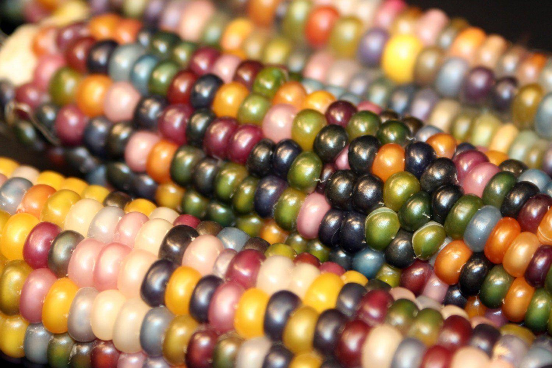 Rainbow Corn Glass Gema Indio Indio de Heirloom de maíz El maíz más hermoso del mundo / DEC245
